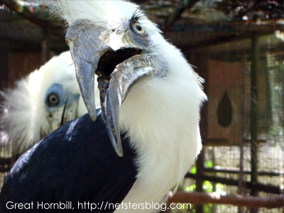 Great hornbill birds pictures/animals/photos/wildlife/collections